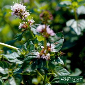 ハーブ 苗 オレンジミント(ハーブティ ハッカ油 虫除け グリーン 鉢植え 栽培方法 育て方 使い方 選び方 種類 花苗 簡単 プランター セット 栽培キットも ミントグリーン ドライハーブ ラベ
