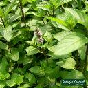 ペパーミント 苗 ハーブティー 花苗 苗木 ハッカ ハーブ苗専門店 感動する香り Herb Mint