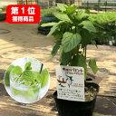 イエルバブエナ 苗(モヒートミント)ハーブ苗 モヒート ハーブ苗専門店 感動する香り Herb Mint