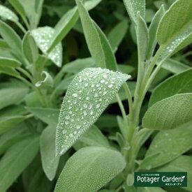 ハーブ 苗 ガーデンセージ 花苗 苗木 料理ハーブ苗専門店 感動する香り Herb Sage