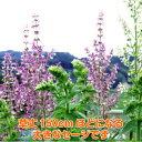 ハーブ 苗【クラリーセージ】花苗 苗木 料理 ハーブ苗専門店 感動する香り Herb
