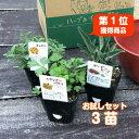 【本日P5倍】ハーブ 苗 セット 3個(寄せ植え 栽培 かわいい 送料無料 ハーブティー ハーブガーデン ガーデニング 観…