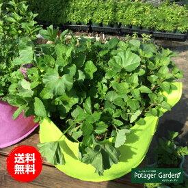 ハーブ 苗 セット 栽培キット 緑のかわいいフェルトプランター 届いたその日から栽培 ハーブ苗専門店
