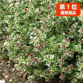 タイム 苗【フォックスリータイム】ハーブ 苗 グランドカバー ハーブ苗専門店 感動する香り Herb