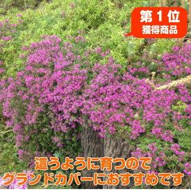 タイム 苗【クリーピングタイム】ハーブ 苗 グランドカバー ハーブ苗専門店 感動する香り Herb