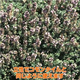 タイム 苗【フレンチタイム】ハーブ 苗 料理 ハーブ苗専門店 感動する香り Herb