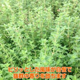 タイム 苗【ポットタイム】ハーブ 苗 料理 ハーブ苗専門店 感動する香り Herb