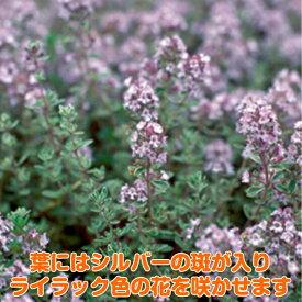 タイム 苗【シルバーレモンタイム】ハーブ 苗 ガーデニング ハーブ苗専門店 感動する香り Herb