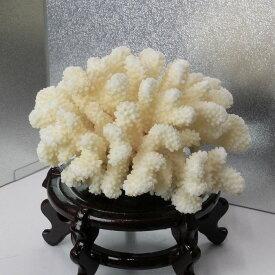 白珊瑚 置物 fossil Coral サンゴ コーラル さんご 化石 フォシル 珊瑚【置物 白珊瑚 インテリア 癒し】メンズ Men's レディース Ladies 限定 天然石 白珊瑚