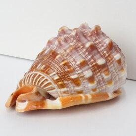 巻貝 置物 巻貝 巻き貝 ほら貝 貝殻【インテリア 癒し 置物】メンズ レディース 一点物アイテム 天然石 巻貝