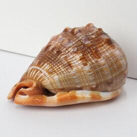 巻貝 置物 巻貝 巻き貝 ほら貝 貝殻【インテリア 癒し 置物】メンズ Men's レディース Ladies 限定 天然石 巻貝