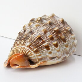 巻貝 置物 巻貝 巻き貝 ほら貝 貝殻【インテリア 癒し 置物】メンズ レディース 一点物 パワーストーン 巻貝