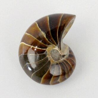 鸚鵡螺化石努   鸚鵡螺 oumgaimens 女士點的石頭化石