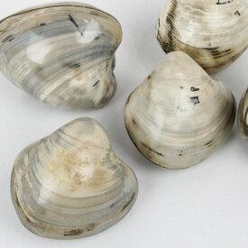 化石 二枚貝|貝 巻き貝 二枚貝 珊瑚【fossil 原石 Gemstone 生きた化石 置物 石 Stone 古生物 標本】メンズ レディース パワーストーン 天然石 海外直輸入価格 化石