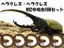 ヘラクレス・ヘラクレス初2令幼虫×5頭セット