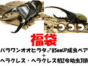 クワガタ福袋Aパラワンオオヒラタクワガタ♂85mmUPペア+ヘラクレス幼虫3頭