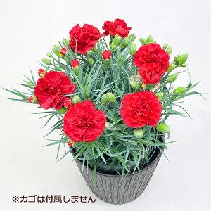 遅れてごめんね 母の日の定番 鉢植え カーネーション レッド 赤