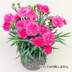 遅れてごめんね 母の日の定番 鉢植え カーネーション ピンク