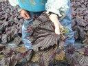 【北海道洞爺湖町産】大葉赤紫蘇の葉 20枚入【赤しそ】【梅漬け】【オススメ】【人気】