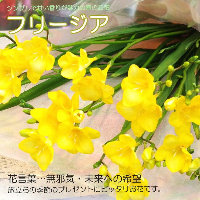 【送料無料】【フリージアの花束】フリージア・花束・ご指定でかすみ草も入れられます♪