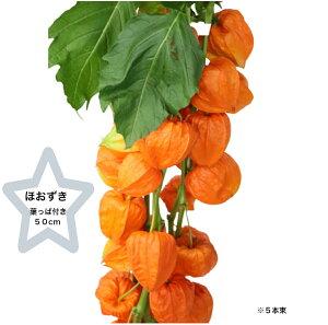 [生花] ほおずき 50cm 葉つき 1本〜 大分 宮崎産 秀品 品質保証 生け花 お供え 仏壇 お盆