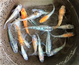 ★成魚★●特上A●【煌めだか】5匹セットの販売になります。色々な色彩の体外光ラメや極ラメを厳選した煌メダカの販売になります。