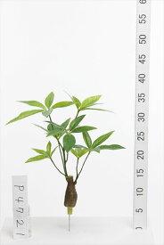 《 造花 グリーン 》花びし/ハナビシ パキラ(小) グリーンインテリア フェイク
