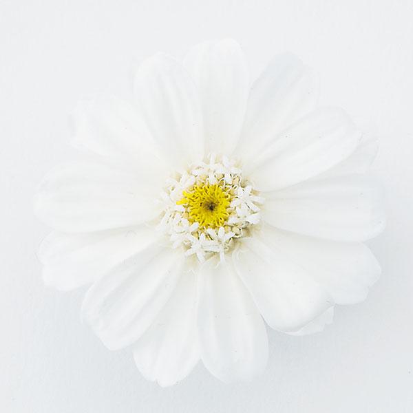 《 プリザーブドフラワー 》★即日出荷★大地/オオチノウエン(ソクジツ) ジニア・小 白 ハーバリウム