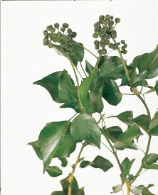 《 プリザーブドフラワー 》◆とりよせ品◆大地農園 アイビー 実付き グリーングリーン リーフ