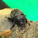 カブトムシ 成虫 生体 フリーサイズ メス