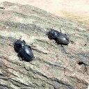 コクワガタ メス フリー 3匹セット 生体 成虫