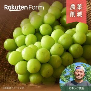 【ポイント15倍】こだわり農家直送 長野県 カネシゲ農園 シャインマスカット2房1.4kg