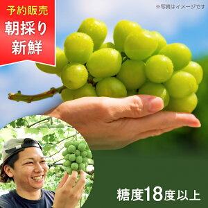 こだわり農家直送 岡山県 ゆうや農園 朝採り直送 大粒&果汁あふれる 糖度18度 シャインマスカット 約600g×2房
