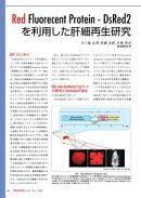 最新実験技術 : 第1回 種々の発光色を利用した in vivoバイオイメージング / Red Fluorecent Protein - DsRed2 を利…
