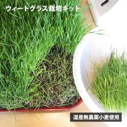 【送料無料】ウィートグラス栽培キットウィートグラス栽培キット