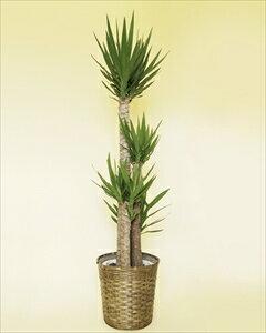 ユッカは葉も強く、観葉植物の中でもスタンダードな種類のひとつ別名:青年の木 ユッカ【10号鉢】バスケット付(代引き不可)【ポイント10倍】【inte_D1806】