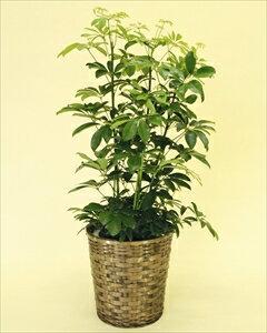 寒さに比較的強い観葉植物です。葉が丸く丈夫なカポックは室内置きにも適しているので、ご自宅はもちろん、贈答用としても大変喜ばれます。 カポック【8号鉢】バスケット付(代引き不可)【ポイント10倍】【inte_D1806】