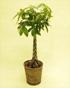 当店一番人気の観葉植物パキラ・編みタイプの8号鉢です!乾燥に強く、室内置きにも適しているので、ご自宅はもちろん、贈答用としても大変喜ばれます。 パキラ【8号鉢】バスケット付(代引き不可)【ポイント10倍】【inte_D1806】