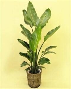 オーガスタの様な大きい葉の植物は蒸散作用が多く、室内に置くと加湿器のような役割をしてくれることから、人気の植物です!! オーガスタ【8号鉢】バスケット付(代引き不可)【ポイント10倍】【inte_D1806】