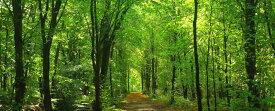 【今一番売れてます!】絵画風 壁紙ポスター (はがせるシール式) 緑と黄葉のコントラスト 森林 パノラマ 森林浴 目の保養 癒し キャラクロ SNR-102P1 (パノラマ版 1440mm×576mm) 建築用壁紙+耐候性塗料 インテリア