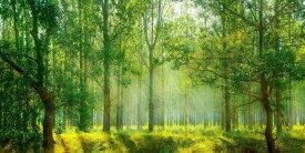 絵画風 壁紙ポスター (はがせるシール式) 新緑と紅葉の森林浴 森 森林 陽射し 日光浴 パノラマ 目の保養 癒し キャラクロ SNR-105S1 (1152mm×576mm) 建築用壁紙+耐候性塗料 インテリア