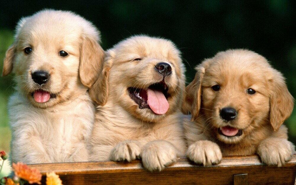絵画風 壁紙ポスター (はがせるシール式) 3匹のゴールデンレトリバー 子犬 ペット イヌ ドッグ 盲導犬 キャラクロ PDOG-006W1 (ワイド版 921mm×576mm) 建築用壁紙+耐候性塗料 インテリア