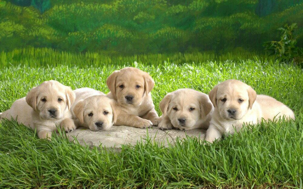 絵画風 壁紙ポスター (はがせるシール式) 5匹のラブラドールレトリバーの子犬 ペット イヌ ドッグ 盲導犬 キャラクロ PDOG-008W2 (ワイド版 603mm×376mm) 建築用壁紙+耐候性塗料 インテリア