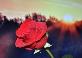 絵画風 壁紙ポスター (はがせるシール式) 赤バラと日の出 レッドシャトー モダンローズ 薔薇 花 キャラクロ FROS-004A2 (A2版 594mm×420mm) 建築用壁紙+耐候性塗料 インテリア