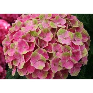 絵画風 壁紙ポスター (はがせるシール式) アジサイのピンクの花 紫陽花 ホンアジサイ ガクアジサイ 花 キャラクロ FAJS-005A1 (A1版 830mm×585mm)
