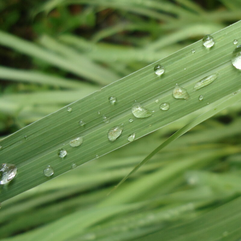 部屋の中でも草原を楽しむ、香りのアイデア。レモングラス -Lemongrass-10mlハイグレード アロマクラフト用 フレグランスオイル(手作り石鹸 香水 キャンドル バスボム サシェ / ディフューザー 加湿器 ネブライザー用)