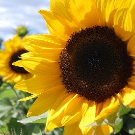 爽やかで元気いっぱいのヒマワリの香り。ひまわり -Sunflower-10mlハイグレード アロマクラフト用 フレグランスオイル(手作り石鹸 香水 キャンドル バスボム サシェ / ディフューザー 加湿器 ネブライザー用)