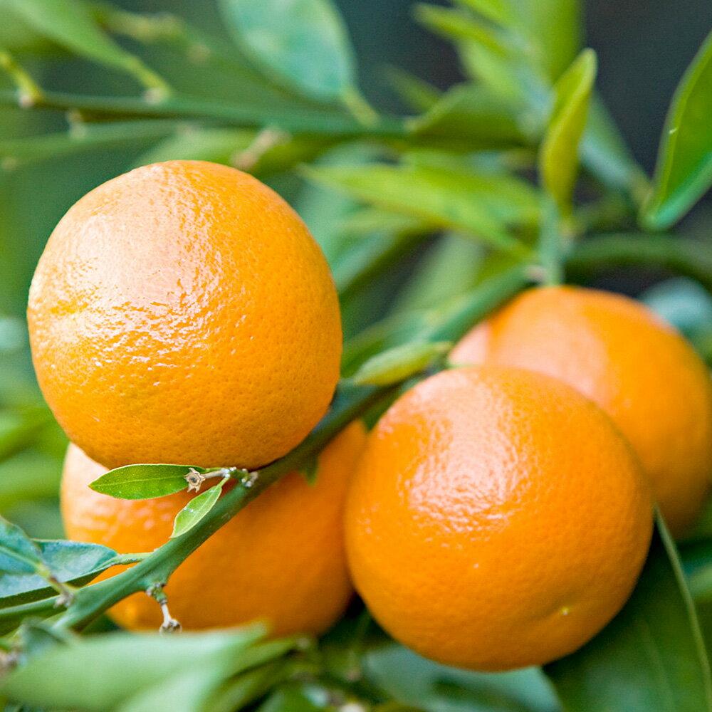 人気ナンバーワン!元気なオレンジの香り。マンダリン (Mandarin)10ml天然100%のエッセンシャルオイル(精油)(手作り石鹸 香水 バスボム バスソルト アロマペンダント サシェ ディフューザー用)