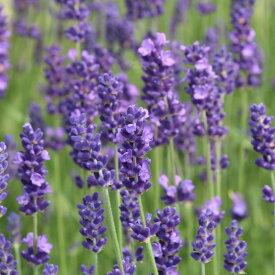 この品質でこの値段は、最強コスパです。真正(高原)ラベンダー(High Alpine Lavender)10ml天然100%のエッセンシャルオイル(精油)(手作り石鹸 香水 バスボム バスソルト アロマペンダント サシェ ディフューザー用)