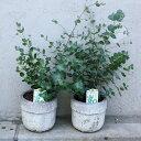 人気のユーカリ グニ—ユーカリの鉢植え 送料無料 ユーカリの木 鉢 観葉植物 ミニ インテリア 誕生日 プレゼント 父の…